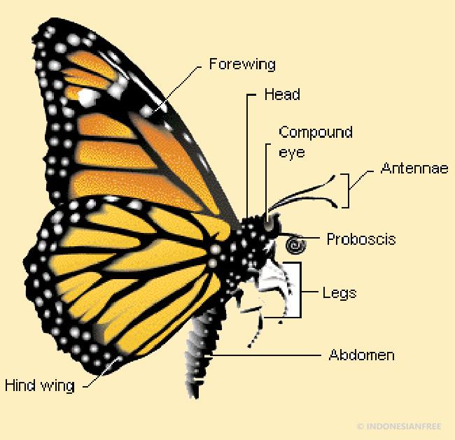 Indera perasa kupu-kupu ada di kaki