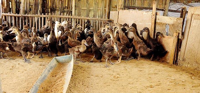 ternak menguntungkan modal kecil